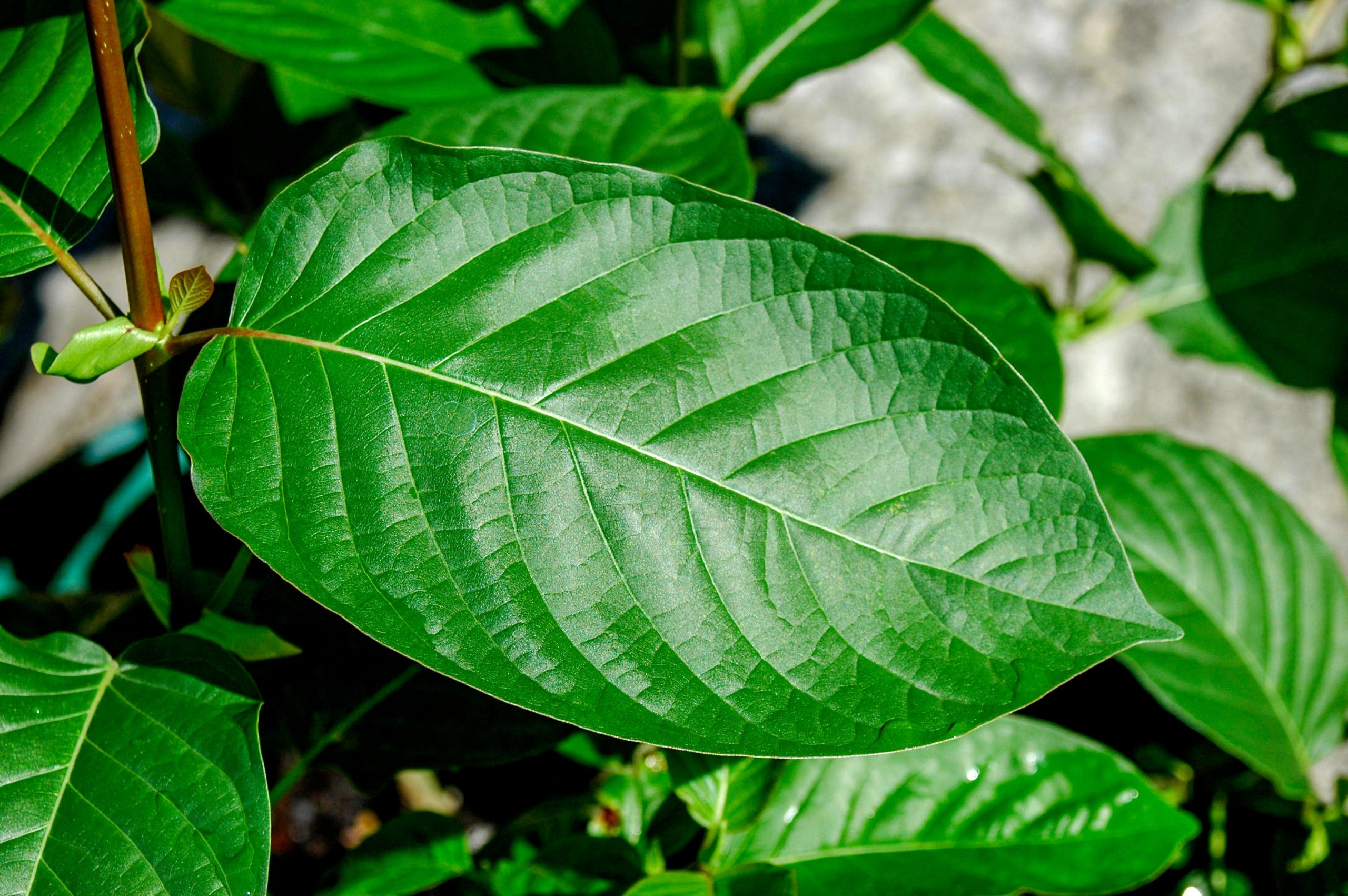 Six Tips To Begin Building A Kratom Extract You Always Wanted